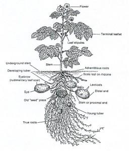 Potato-Diagram